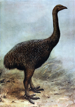 250px-Megalapteryx