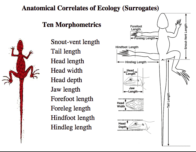 AnatomyMeasurements.jpg