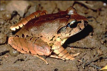 mixophyes-fleayi-fleays-barred-frog-mixoflea009