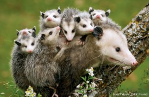 opossum-mom-babies-Stan-Tekiela-570x375