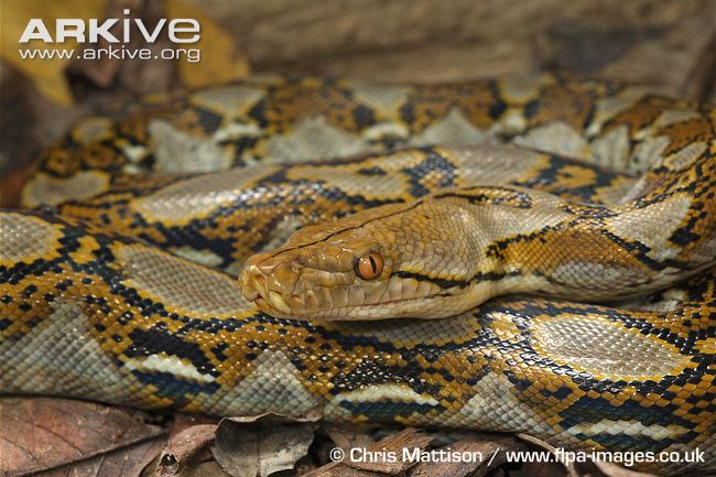 Reticulated-python-coiled.jpg