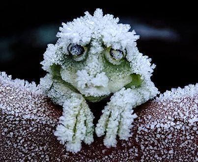 frozen frog.jpg